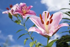 Pale pink oriental lily. Blooming pale pink oriental lily flower under blue sky in summer Stock Photos
