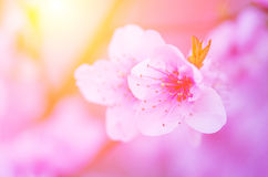 Pale pink peach blossom on a background of the bright sun. Stock Image
