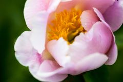 Pale pink peony flower Royalty Free Stock Photos