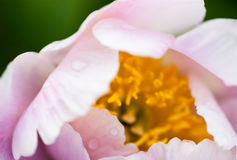 Pale pink peony flower Stock Photography