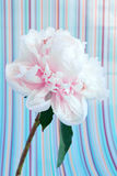 Pale pink peony flower macro on a striped background Stock Photos