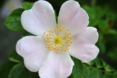 Close-up of pale pink flower of a dog rose. Pale pink petals and yellow stamens of a flower of rosa canina, the dog rose royalty free stock photo