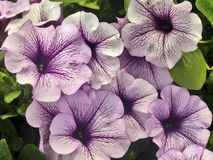 Pale pink petunia closeup Royalty Free Stock Photos