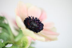 Pale pink poppy flower Stock Image