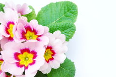 Pale pink primula Royalty Free Stock Image