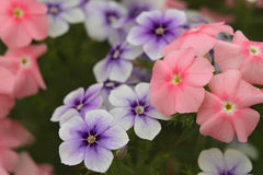 Pale pink and purple flowers Royalty Free Stock Image