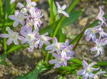 Pale pink quinox is one of the first spring flowers stock images