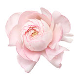 Pale pink ranunculus (persian buttercup); isolated on white back Stock Photo