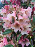 Pale pink Rhododendron Stock Images