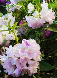 Pale pink rodendrons in a botanical garden.  royalty free stock photo