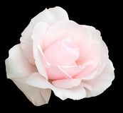 Pale pink rose. Delicate pale pink rose, isolated on black with clipping path Royalty Free Stock Image