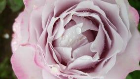 Pale Pink Rose 3 Immagini Stock Libere da Diritti