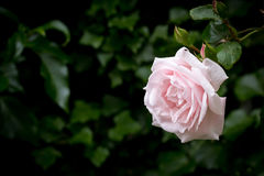 Pale pink rose against blurred dark green background, horizontal. With copy space royalty free stock photos
