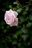 Pale pink rose against blurred dark green background, vertical Royalty Free Stock Image