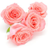 Pale pink rose. Beautiful pale pink rose flower, isolated on white background stock photos