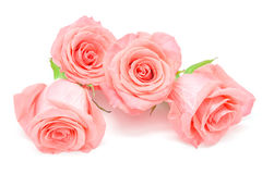 Pale pink rose. Beautiful pale pink rose flower, isolated on white background stock photography