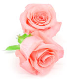 Pale pink rose. Beautiful pale pink rose flower, isolated on white background Royalty Free Stock Image