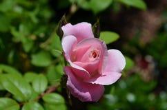 Pale Pink Rose Bud Blooming en het Openen in de Zomer stock foto's