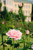 Pale pink rose with buds Royalty Free Stock Image