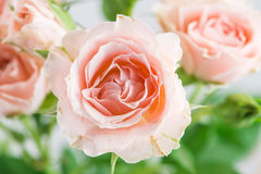 Pale pink rose bush  on a floral background Royalty Free Stock Photos