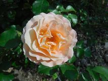 Pale Pink Rose. With darker orange center in garden in Padua, Italy Royalty Free Stock Photo