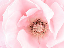 Pale pink rose detail, stamens Royalty Free Stock Images