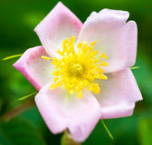 Pale pink rose flower Royalty Free Stock Photos