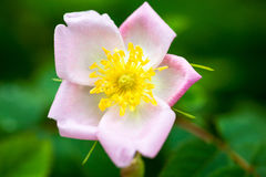 Pale pink rose flower Royalty Free Stock Photography