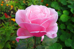 Pale pink rose on the flowerbed Stock Images
