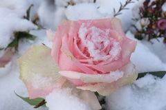 Pink rose in the snow. A pale pink rose in the fresh snow royalty free stock images
