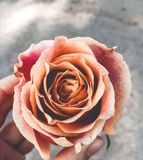 Pale Pink Rose Holding In The Left Hand stock photos