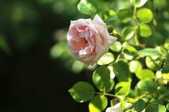 Pale Pink Rose im gescheckten Licht lizenzfreie stockfotografie