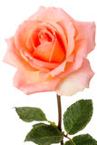 Pale pink rose  isolated on a white Royalty Free Stock Images