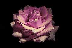 Pale Pink Rose. Original image turned to pale pink. A beautiful image, appropriate to convey emotions Stock Photography