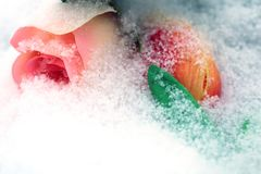 Pale pink rose. Pale pink rose powdered with snow stock images