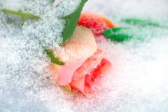 Pale pink rose. Pale pink rose powdered with snow stock image