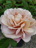 Pale Pink Rose. Pale pastel  rose, flower, plant royalty free stock images