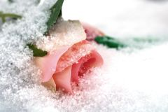 Pale pink rose. Pale pink rose powdered with snow royalty free stock photos