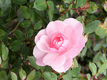 Pale Pink Rose. A Pale Pink Rose with Raindrops royalty free stock photos