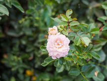 Pale pink rose. Bud blossoming in the park Royalty Free Stock Images