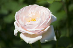 Pale pink rose. Up close photo of a pale pink rose with some detailed shadows stock photo