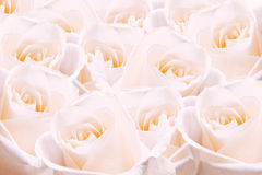 Pale pink roses. Stock Image