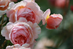 Pale pink roses closeup green background Royalty Free Stock Image