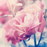 Pale pink roses. Floral background with pale pink roses. Color toning filter applied Stock Photo