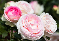 Pale pink roses. In a flowerbed close up Stock Photo