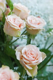 Pale pink roses. With green leaves on a blurred background Stock Photos
