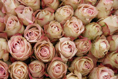 Pale pink roses. Group of pale pink roses with a touch of red, wedding decorations Royalty Free Stock Images