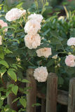 Pale pink roses on wooden fence. Pale pink roses growing in a cottage garden on a vintage wooden fence Stock Image