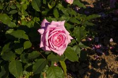 Pale Pink Single Rose against Rich Green Leaves stock photo