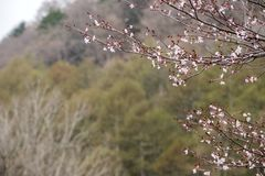 Pale pink small cherry blossoms. Prunus incisa in front of forest in Nikko Stock Image